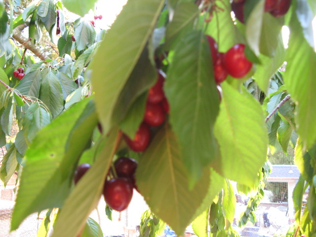Cherry party 003