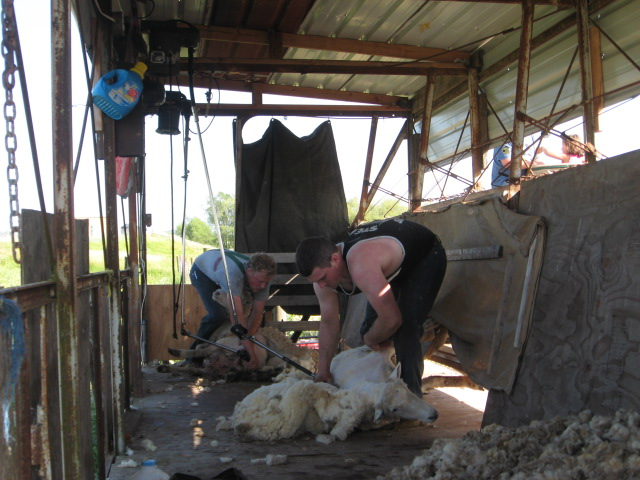 Band and shearing 007